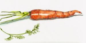 sketch of carrot by Jana Bouc