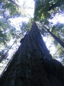 Sequoiadendron giganteum in the Founders Grove. Humboldt Redwods State Park, CA