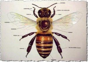 Apis mellifera. Photo source: ashevillage.org