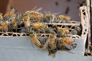 Some of the ladies from our own hive! Photo by Brendan Gill