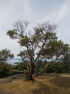Madrona tree at the top of Mt. Young. San Juan Island, WA.