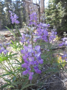 Alpine Lupine. Sisters Wilderness, OR.