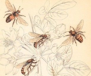 vintage print of honeybees