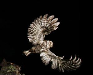 Screech Owl by Kevin Shank