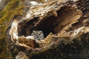 Western Screech Owl by Cameron Rognan
