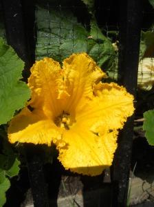 Squash Flower- Community garden. Portland, OR
