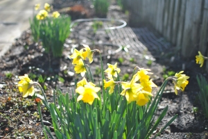 Yes! The daffodils tell you so