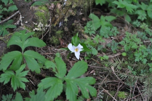 newly bloomed Trillium at Catlin Gabel