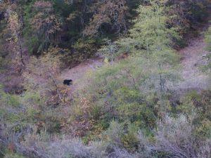 Ursus americanus, Rogue River, OR